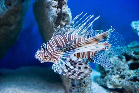 pterois volitans: Pterois volitans - red lionfish