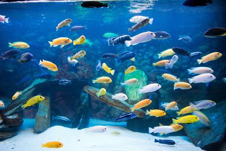 cichlidae: cichlids Stock Photo
