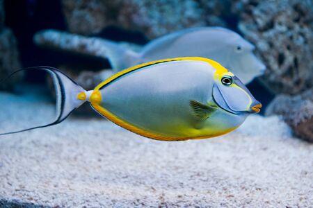 Naso lituratus - barcheek unicornfish - saltwater fish