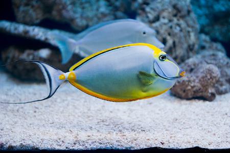 Naso lituratus - barcheek unicornfish - saltwater fish photo