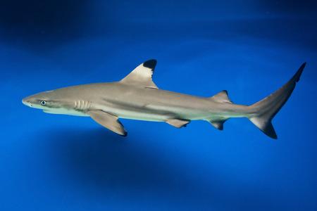 ichthyology: Carcharhinus melanopterus -  blacktip reef shark - saltwater fish