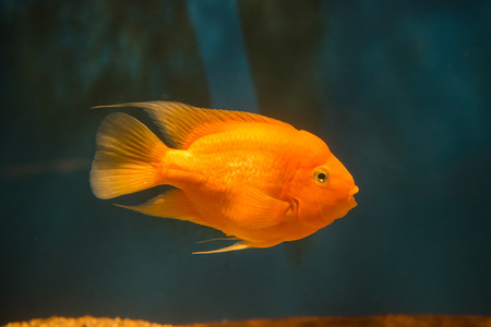 cichlid: fresh water fish blood parrot cichlid