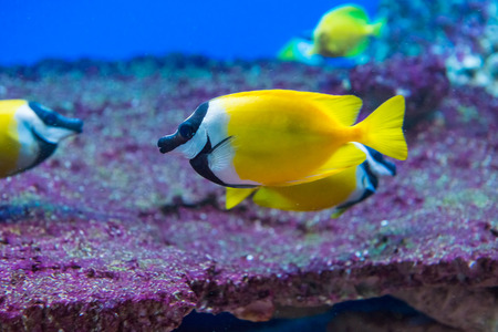 saltwater fish: saltwater fish foxface rabbitfish