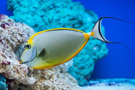 naso:  saltwater fish
