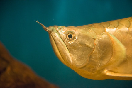 arowana: freswater fish - Osteoglossum bicirrhosum Stock Photo