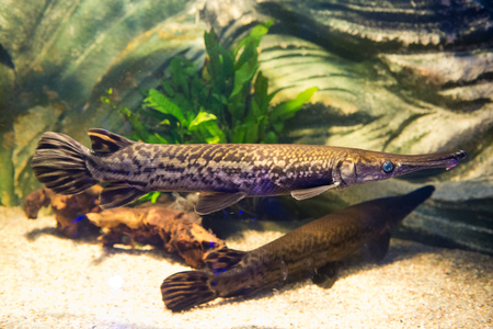 freshwater fish: Atractosteus spatula - Alligator gars - freshwater fish