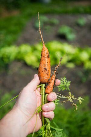 l hand: orange carrot (Daucus carota L.) in hand