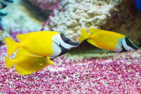 saltwater fish: saltwater fish foxface rabbitfish. Siganus vulpinus Stock Photo