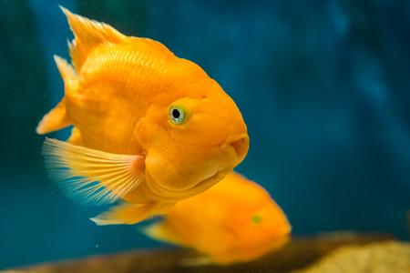 fresh water fish: fresh water fish blood parrot cichlid