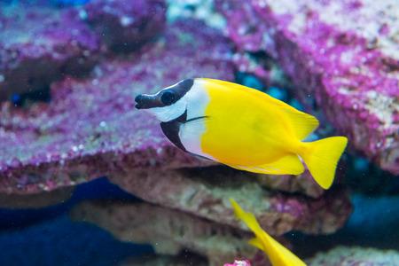 rabbitfish: saltwater fish foxface rabbitfish. Siganus vulpinus Stock Photo