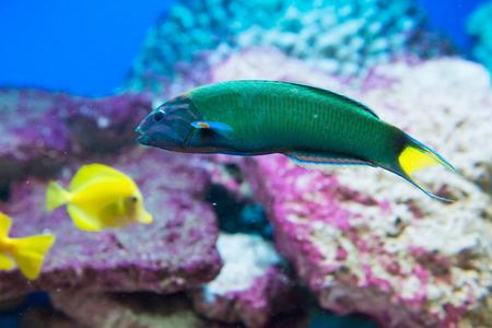 saltwater fish: saltwater fish Moon wrasse - Thalassoma lunare