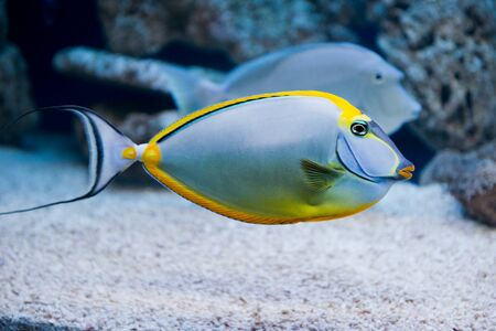 saltwater fish: Naso lituratus - barcheek unicornfish - saltwater fish