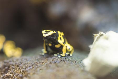 dendrobates: dendrobates leucomelas - colored frog frm South America Stock Photo