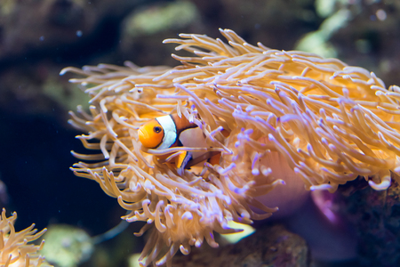 saltwater fish: Amphiprion ocellaris - clownfish - saltwater fish Stock Photo
