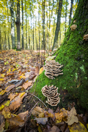 versicolor: Trametes versicolor - mushrooms covered with tree trunk