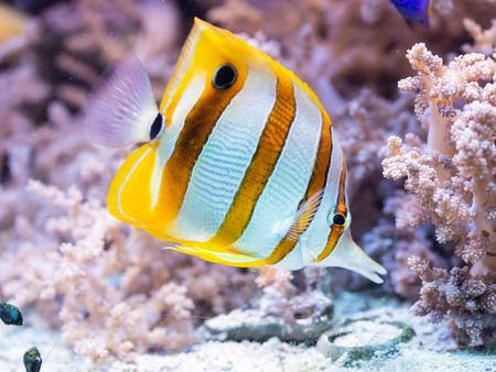 Fish Chelmon rostratus - Banded Longsnout Butterflyfish, saltwater