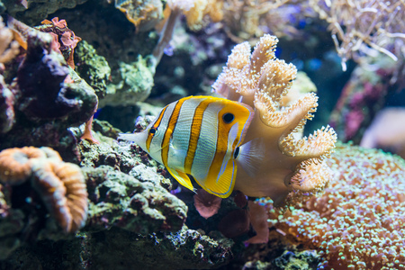 Chelmon rostratus (Copperband Butterflyfish) - colorful sea fish Stock Photo - 115483514