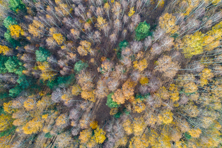 autumn forest - view from above. Birches and pine Zdjęcie Seryjne