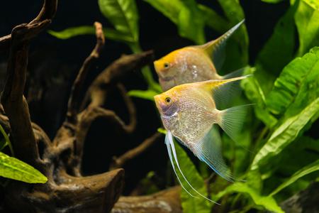 angelfish - Pterophyllum scalare - gold variety