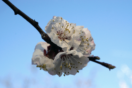 exhilarating: Apricot tree blooms on a spring day.  White flowers branch, no leaves. Closeup Shallow depth of field. Nature background. Concept of springtime,commencement, awakening. Stock Photo