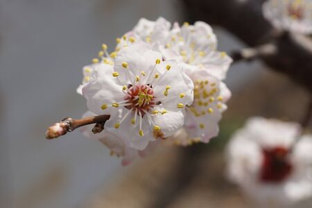 anthers: Apricot tree blooms on a spring day.  White flowers branch, no leaves. Closeup Shallow depth of field. Nature background. Concept of springtime,commencement, awakening. Stock Photo
