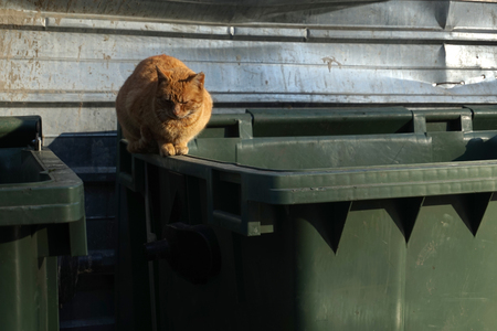 unprotected: Orange, homeless, shabby, dirty, stray cat, lying on the filthy garbage container in small downtown alley. Close up.  Abandoned animals concept.  Homeless animals concept.
