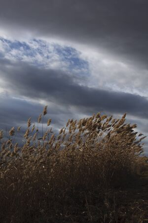 Dry reeds, bulrush, against cloudy sky in the background. Autumn rural landscape.  Wind blows through the reeds before the storm.