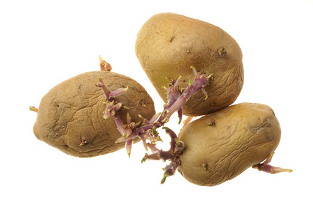 Organic seed potatoes with sprouts isolated on white. Sprouting tubers of Solanum tuberosum. Close up nature. Agriculture, gardening concept.