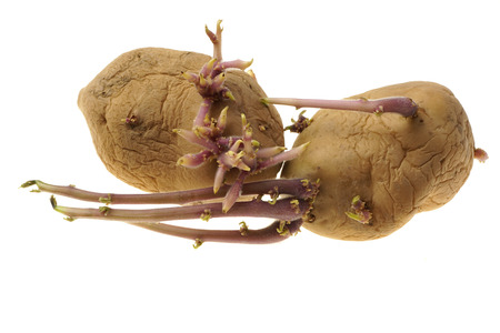 Organic seed potatoes with long sprouts isolated on white. Sprouting tubers of Solanum tuberosum. Close up nature. Agriculture, gardening concept.