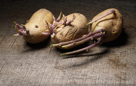 Organic seed potatoes with sprouts on wooden background. Sprouting tubers of Solanum tuberosum. Close up nature. Agriculture concept. Gardening concept. Stock fotó