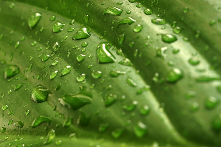 Green leaf texture with raindrops after the rain. Close up nature background. Springtime concept. Selective focus.