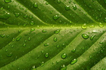 Green leaf texture with raindrops after the rain. Close up nature background. Springtime concept. Top view.