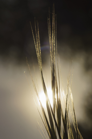 Grass. Sun. Meadow grass with dew drops. Close up. Out of focus sunset sky in the  background.  Selective focus on the dew drops in the foreground. Backlight.  Nature  close-up.  Nature  concept.