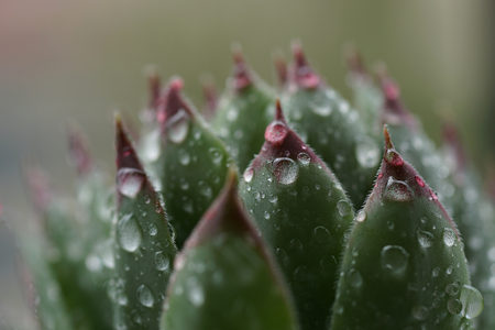 Sempervivum Tectorum,  Hens and Chicks plant.  Evergreen succulent after the rain. Selective focus on the part of the leaves of Common houseleek rosette with raindrops. Close up nature concept.