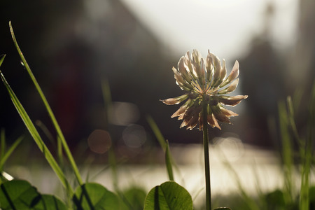 White Clover, Trifolium repens, in a green lawn.  Out of focus street on sunset in the background. Shallow DOF. Selective focus on white flower head. Back light. Close up nature concept.