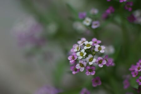 Close up of Lobularia maritima. Blooming Alyssum maritimum.  Little perennial white and pink flower, Sweet alyssum. Shallow depth of field. Green, blurred, out-of-focus background. Gardening concept Stock fotó
