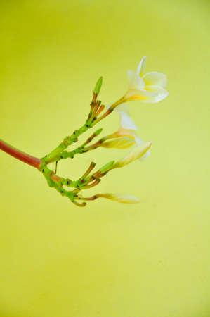 frangipani plumeria photo