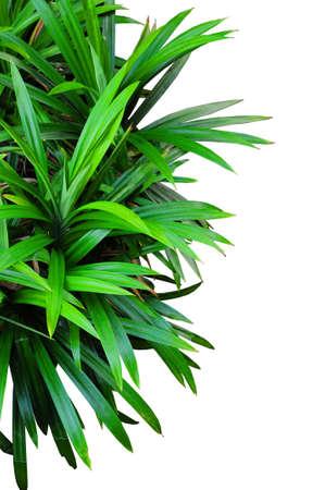 pandan leaf isolated on white background Stock Photo