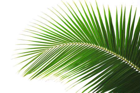 palm tree isolated: Palm tree