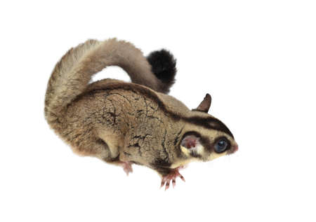Flying squirrel, Sugarglider