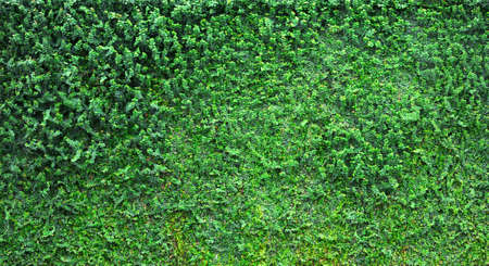 Wall of Ivy photo