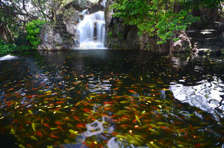 fancy carp fish in waterfall photo