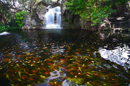 fancy carp fish in waterfall photo