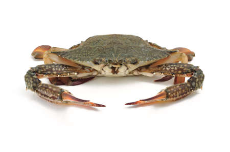 blue crab: blue crab isolated on white