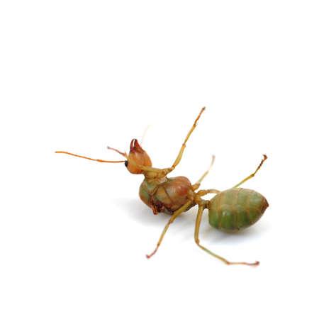 Dead Ant Isolated on White Standard-Bild