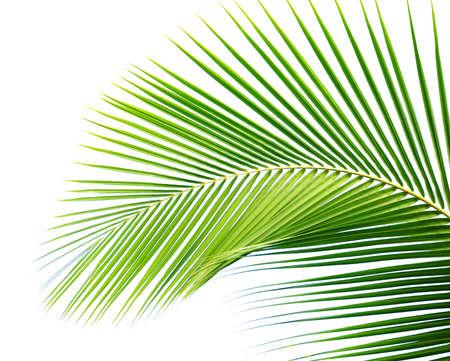 coconut palm tree: Palm leaf