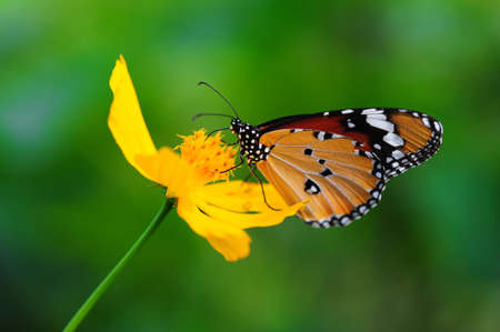 Monarch Butterfly on Yellow Flower photo
