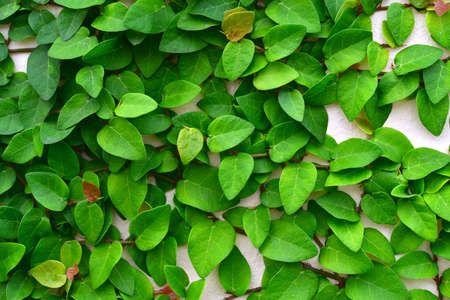 Ivy Background Stock Photo - 23557907