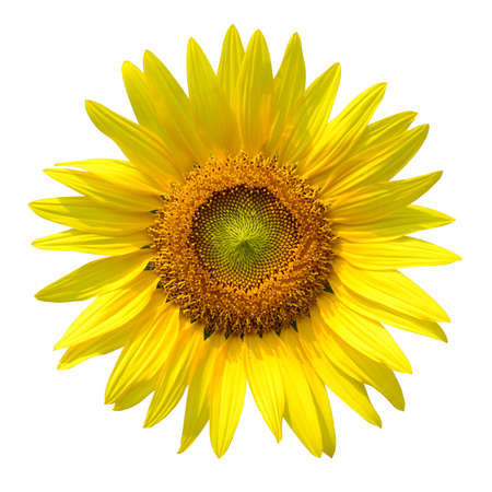 Sunflower with clipping path photo