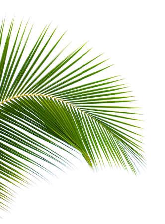 palm leaves: Palm leaf